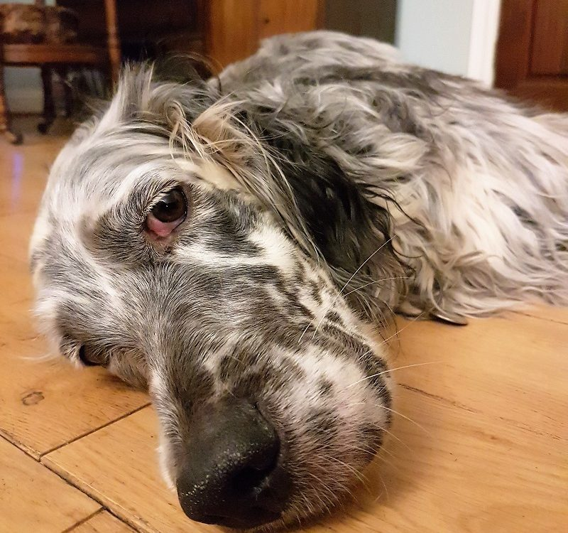 Rosie the English Setter came to stay at the B&B
